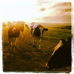 Cows at sunset, Devon