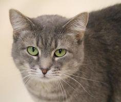 Tulip the Gray Tabby Cat