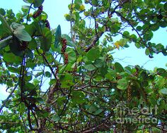 Sea Grapes photograph by Nancy L. Marshall - Sea Grapes Fine Art Prints and Posters for Sale #FineArtAmerica  Blowing Rocks Preserve, Jupiter Island, Florida