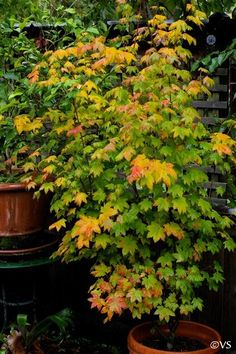 Acer circinatum vine maple Deciduous shrub or tree 5 to 20 ft. tall, native to moist woods and streambanks in the coastal mountains of north...
