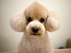 Huxtable The Poodle | Toy Poodle Blog | Parti Poodle: Japanese Style: Poodle Clips  Cuts Grooming