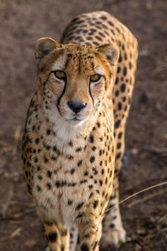 Cheetah Portrait  Photo by Lance Harding — National Geographic Your Shot