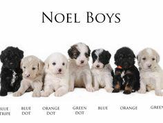Noel & Skye F1b Medium Boys at 4 weeks old #EnglishTeddyBearDoodle #Smeraglia #DoodleDynasty #GodPeopleDogs #StrictlyDoodles