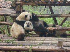Hold a baby panda @ The Giant Panda Breeding Research Base (Xiongmao Jidi) in Chengdu, China