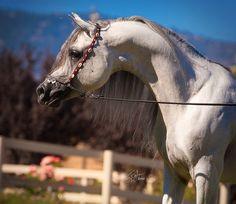 Marajh KA (Makhnificent KA × Marquisah KA)  2008 grey SE stallion bred by Kehilan Arabians, Texas - Strain: Kehilan Ajuz Rodan