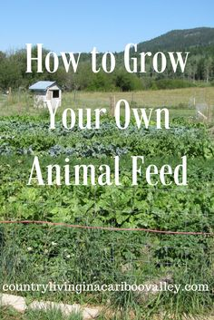 Save money & grow some of your Animal Feed for your pigs, chickens, goats, cows. Easy & cheap!