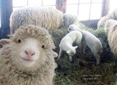 Quando as ovelhas querem que seus próprios selfies! [Facebook]
