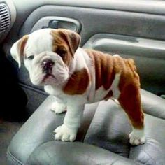 The major breeds of bulldogs are English bulldog, American bulldog, and French bulldog. The bulldog has a broad shoulder which matches with the head. Cute Puppies, Cute Dogs, Dogs And Puppies, Doggies, Cute Funny Animals, Cute Baby Animals, English Bulldog Puppies, Baby English Bulldogs, Bulldog Pics