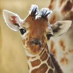 baby giraffe, I'm so cute, my mom won't let me outside til after dark because of…