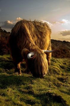 heiland coo (Scottish Highland cow)