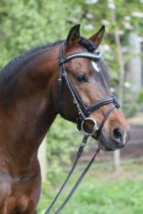 Davidoff - German Riding Pony