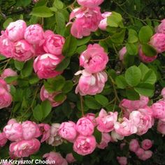 Raubritter1 Garden Spaces, Landscape, Plants, Roses, Cottage, Knight, Scenery, Pink, Rose