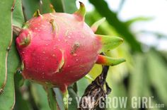 Pitaya, or dragon fruit, is a strange edible that is commonly sold (at a premium) in Asian food markets. The fruit is hot pink on the outside with an edibl Weird Fruit, Strange Fruit, Weird Food, Organic Gardening, Gardening Tips, Indoor Gardening, Dragon Fruit Cactus, Unusual Plants, Unusual Flowers