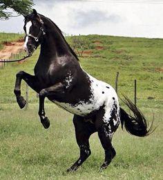 Beautiful black appaloosa horse