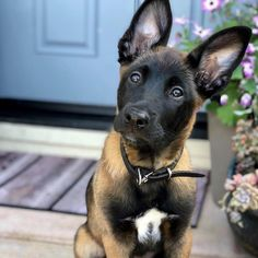 Awesome pretty dogs detail are readily available on our internet site. Check it out and you wont be sorry you did. Military Dogs, Police Dogs, Belgian Shepherd, German Shepherd Dogs, Cute Dogs Breeds, Dog Breeds, Belgian Malinois Puppies, Belgium Malinois, Shepherd Puppies