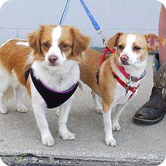 Detroit, MI - Chihuahua/Dachshund Mix. Meet Rex a Dog for Adoption.