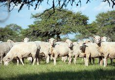 Es elaborada con la mejor carne ovina, sin el agregado de condimentos y apta para celíacos. El INTA junto con la Universidad Nacional del Nordeste y el Ministerio de la Producción de Corrientes trabaja en el desarrollo de un nuevo concepto gastronómi