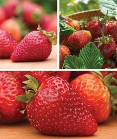 Strawberry Plants, All Season Collection 75 Plants by Burpee. $43.95. The berry patch will be filled all summer with delicious strawberries. We've selected the three very best strawberries so you can enjoy the longest strawberry harvest ever. Earliglow strawberry sweetly starts the season, Jewel strawberry deliciously arrives in midseason and Seascape strawberry produces crops in spring, summer and fall. Collection includes 25 plants of each variety. Zones 4-8.