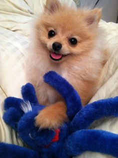 Puff the Pomeranian