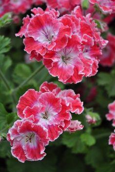 Exotic Flowers, Amazing Flowers, My Flower, Pretty Flowers, Flower Pots, Trailing Flowers, Flower Images, Spring Garden, Beautiful Gardens
