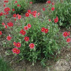 """Helianthemum 'Hartswood Ruby' - shear lightly after flowering by no more than half - 14"""" tall x 22"""""""