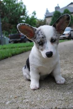 ideas of Cardigan Welsh Corgi puppies - TheDogPuppies.com ...