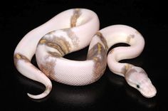 http://www.thefeaturedcreature.com/wordpress6/wp-content/uploads/2012/10/snakekeeper31.jpg