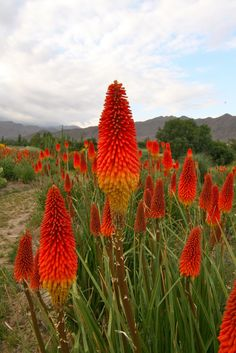 Kniphofia, also called tritoma, red hot poker, torch lily, knofflers or poker plant, is a genus of flowering plants in the family Xanthorrhoeaceae, subfamily Asphodeloideae