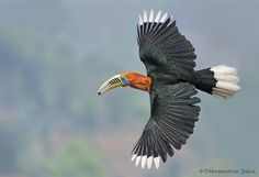 This loyal male Rufous necked hornbill(Aakashraj) is diving from the nest hole as the female(Meghrani) refuses the berry...shot during last breeding seasons study on them.March 2013