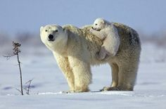 Polar Bear Cub Twin polar bear cubs are born in a den which their mother digs in a snow drift; Animals And Pets, Baby Animals, Funny Animals, Cute Animals, Wild Animals, Animal Babies, Beautiful Creatures, Animals Beautiful, Baby Polar Bears