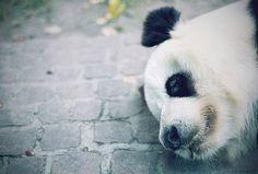 #panda #bear #animal