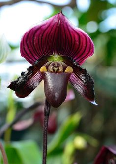 Paphiopedilum is a genus of the Lady slipper orchid subfamily Cypripedioideae of the flowering plant family Orchidaceae. The genus comprises some 80 accepted taxa including several natural hybrids. The genus is native to Indo-Malesia (South China, Southeast Asia and the Pacific Islands) and India.