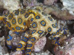 Greater Blue-Ringed Octopus (Hapalochlaena Lunulata) a Small But Highly Venomous Species