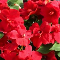 Athena Red Impatiens - Annual Flower