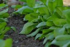 Growing Spinach, Companion Gardening, Raw Vegetables, Compost, Vegetable Garden, Parsley, Construction, Display, Food
