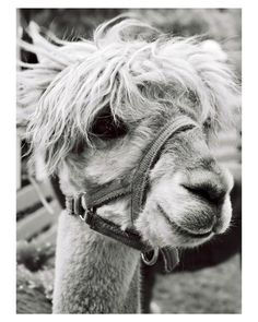 Is a description necessary? Have you ever seen a cuter llama? :)  #black and white #photography #llama