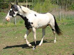 He's Ebony And Ivory Connemara, Horses, Stoner, World, Tennessee, Ivory, Painting, Animals, Color
