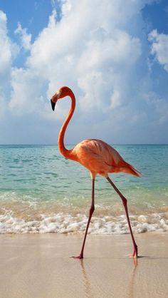 Fenicottero Rosa (Phoenicopterus roseus) cammina sulla spiaggia #AnimaliVolanti #Fenicottero