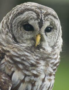 Kele, a barred owl