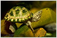 sternotherus carinatus, razor-backed musk turtle. they are beyond adorable. I want one ... !