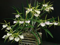 Orchid Society - Home Page