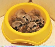 Daily Squee: Bowl of Meerkats