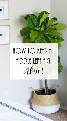 Keep A Fiddle Leaf Fig Alive Fiddle Leaf Fig Care. Fiddle leaf fig watering instructions, Keep fiddle leaf fig aliveFiddle Leaf Fig Care. Fiddle leaf fig watering instructions, Keep fiddle leaf fig alive Fig Leaf Tree, Fig Leaves, Green Leaves, Fig Tree Plant, Plant Pots, Fig Plant Indoor, Indoor Plants, Indoor Gardening, Gardening Tips