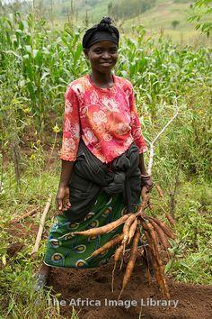 Woman harvesting cassava near Muhanga - Rwanda