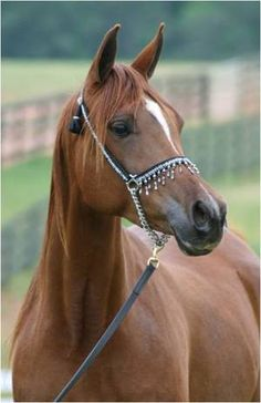 Talaria Farms - Arabian Horse  This is my daughters horse TF Spice!