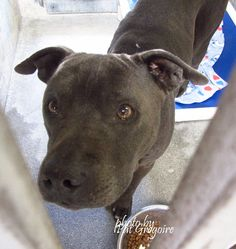 ★9/10/15 STILL HERE! PLEASE COME GET ME!★A4053220 My name is Boy. I am a very friendly 7 yr old neutered male blue/white pit bull mix. My family left me here on August 17. available now NOTE: Pit bulls are not kept as long as others so those dogs are always urgent!! Baldwin Park shelter https://www.facebook.com/photo.php?fbid=1018249911520179&set=a.705235432821630&type=3&theater