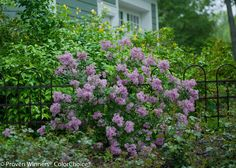 Proven Winners - Bloomerang® Purple - Reblooming Lilac - Syringa x purple lavender plant details, information and resources. Dwarf Flowering Shrubs, Planting Shrubs, Garden Shrubs, Landscaping Plants, Flowering Trees, Bloomerang Lilac, Japanese Lilac Tree, Shrubs For Sale, Online Plant Nursery