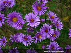 New England Aster -- blooms late summer to frost. (from Prairie Moon; behind Coreopsis)