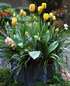 Image detail for -Container with Tulips (Tulipa sp.), Hyacinths (Hyacinthus sp.) and Grape Hyacinths (Muscari sp.) in Spring, UK