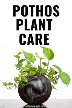 Learn pothos plant care so you can have gorgeous pothos plants in your indoor plant collection. There are several types of pothos plants that make great houseplants. Also, learn how to propagate pothos plants so that you can make more! Outdoor Plants, Air Plants, Outdoor Gardens, Plants Indoor, Pothos Plant Care, Gardening Tips, Indoor Gardening, Garden Projects, Garden Ideas